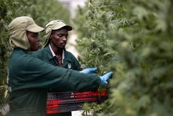 500,000 Weed Related Arrests Get Expunged In Illinois